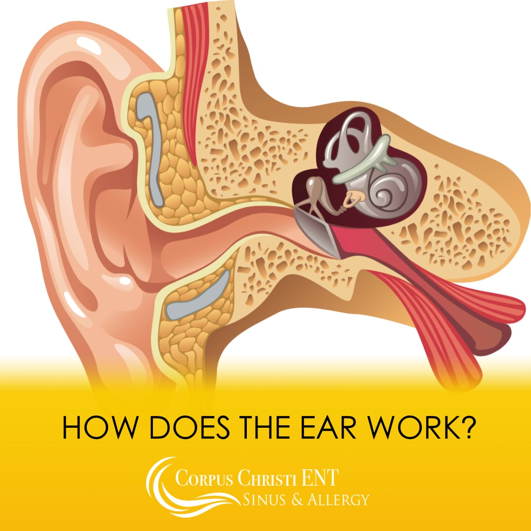 How does the ear work